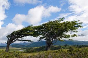 Wind-bent Trees