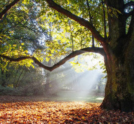 Big tree shows idea of how Grounding meditation mp3 makes you feel